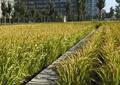 园路,稻田,稻子,田地,农业景观