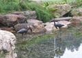 丹顶鹤雕塑,雕塑水池景观,自然石,景石石头