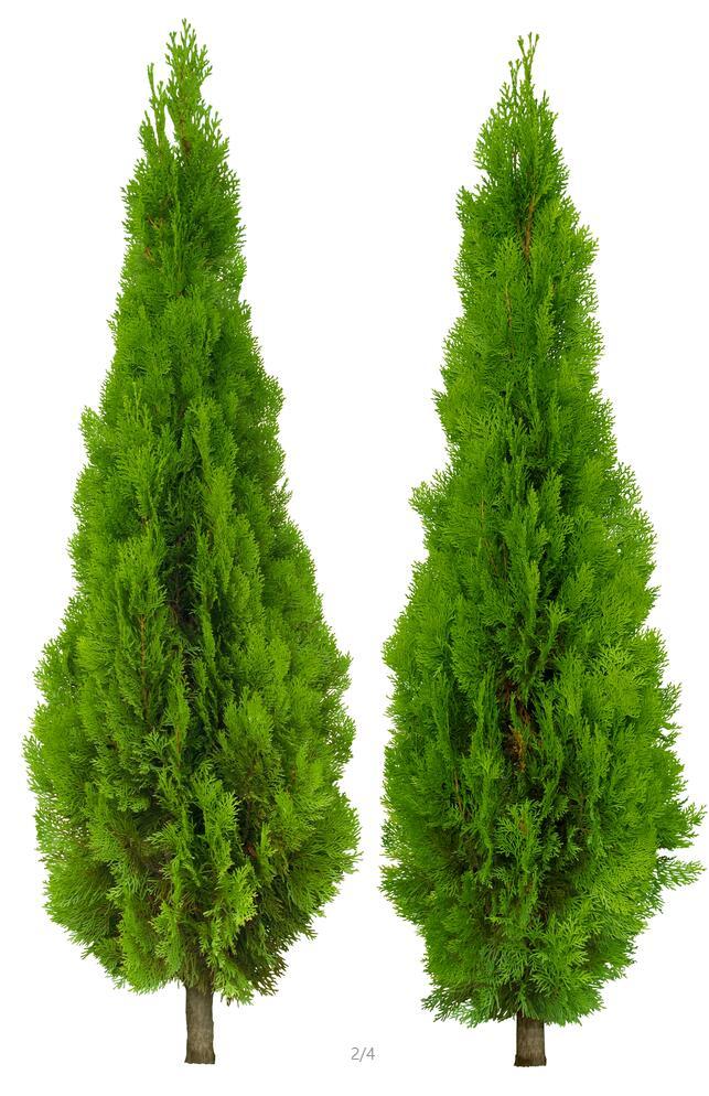 > 某景观植物高清psd素材,该素材为某绿色小乔木ps素材,具有一定