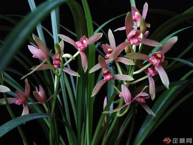 花葶发自假鳞茎基部,长25-60(-80)厘米,直立;总状花序疏生5-12朵花;花苞片狭披针形,最下面1枚长可达4厘米,中部与上部的长1.5-2.6厘米,一般与花梗和子房近等长;花梗和子房长2-2.5(-3)厘米;花常为淡黄绿色而具淡黄色唇瓣,也有其他色泽,常有浓烈香气;萼片近线形或线状狭披针形,长3-5 (-6)厘米,13.