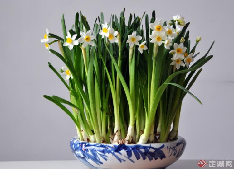 家里种水仙花好吗