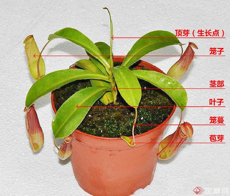 食肉植物例举说明