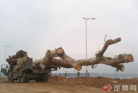 带土球软包装大树移植技术