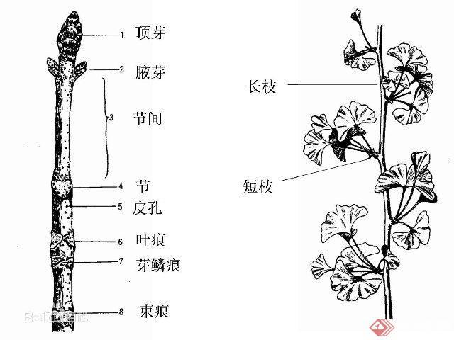 园林植物的茎的基本结构