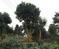 樹木,樹木素材