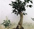 盆栽,盆栽植物