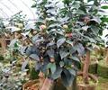 盆栽,盆栽植物,花卉植物