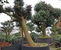 盆栽,盆栽植物,树木
