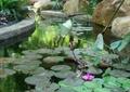 荷花池,水池景观,驳岸景观,自然景石