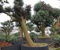 盆栽,盆栽植物,樹木